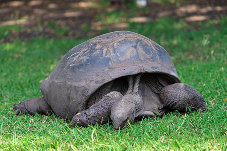 Giant tortoise on Mauritius, Africa