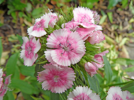 Sweet William photo