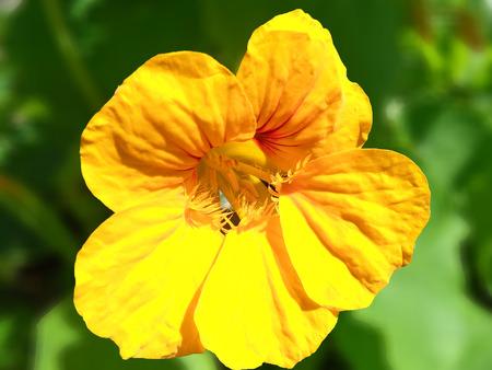 tinge: Yellow Nasturtium