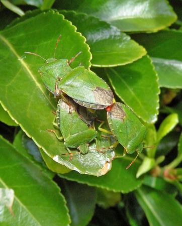 green shield bug: Green Shield Bug Pile Up Stock Photo