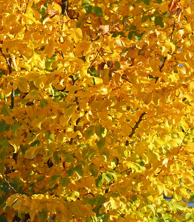 autumn colour: Autumn leaves on tree. Autumn, autumnal, beautiful, botanical, botany, branch, bright, colour-change, colour, colourful, environment, fall, flora, foliage, forest, gold, golden, green, leaf, leaves, natural, nature, September, October, orange, outdoors, p Stock Photo