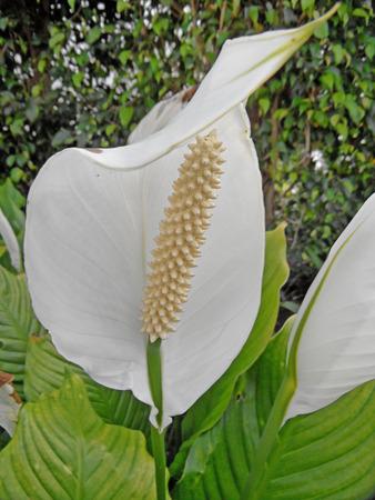 anthurium: Anthurium White Flower