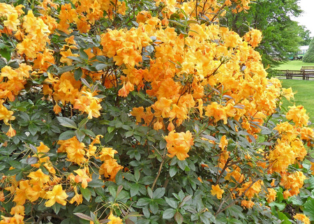 glowering: Yellow Flowering Rhododendron Bush with leaves Stock Photo
