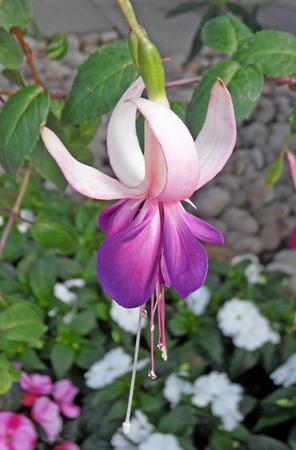 White and Purple Fuchsia Stock Photo