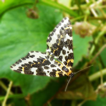 moth: Magpie Moth