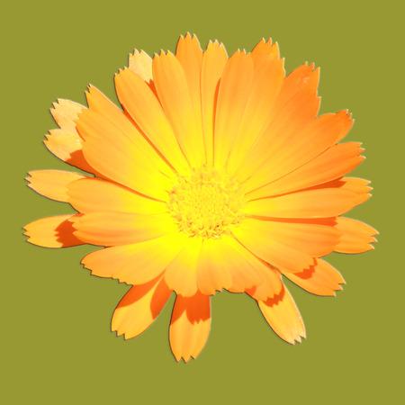 golden daisy: Sunny Golden Daisy Shaped Flower