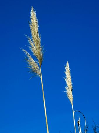 cane plumes: Pampas-grass Blue Sky Background