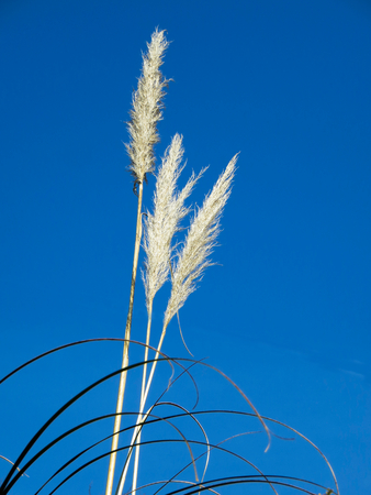 cane plumes: Pampas-Grass Heads and Leaves Blue Sky
