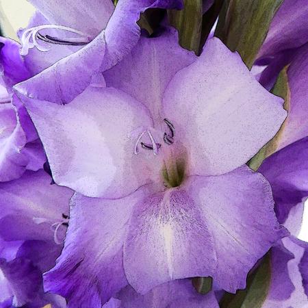 floret: Floret Gladioli