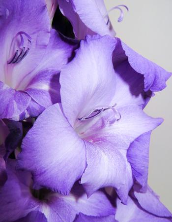 funnel shaped: Gladioli Flower Funnel Shaped