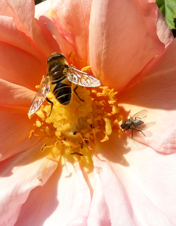 nectaring: Hover Fly Bee Wasp on Rose Flower