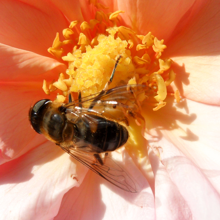 nectaring: Hoverfly Bee on Flower Pollen