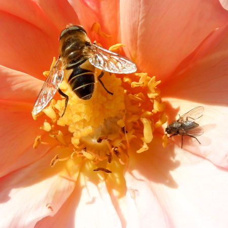 nectaring: Hoverfly and Fly on Salmon Flower
