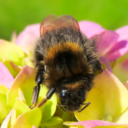 pollinator: Golden and Black Bumble Bee Head Stock Photo
