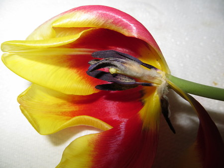 stigmate: Stamen and Stigma of a Tulip