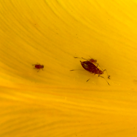 aphid: Red Aphid and Young on Tulip Petal Stock Photo