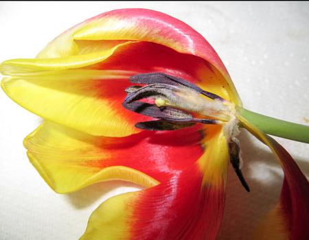 花びら: チューリップの花びら