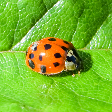 where to eat: Red and Black Spotted Ladybird on Green Leaf Stock Photo