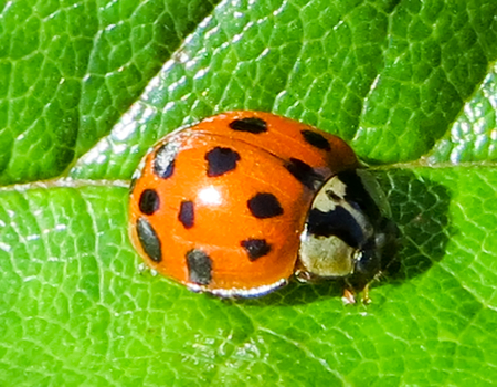 where to eat: Bright Spotted Red Ladybird on Green Leaf