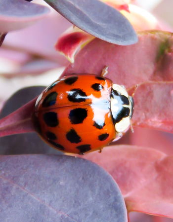 where to eat: Red, Black Spotted And White Headed Ladybird