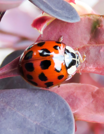 where to eat: Ladybird on Red Leaves