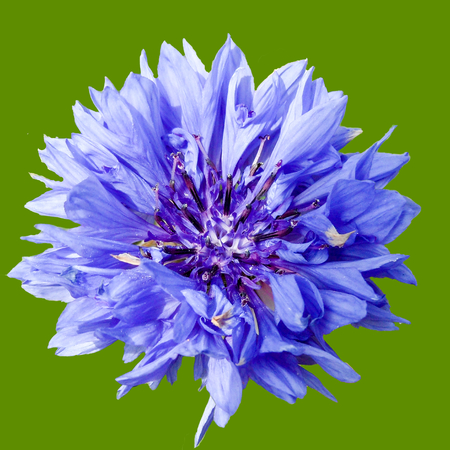 cornflower: Cornflower Head Isolated Green Background