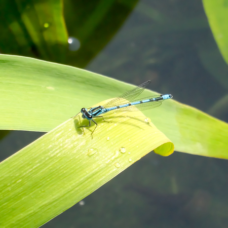 zygoptera: Blue Damselfly  on Green Leaves over Water