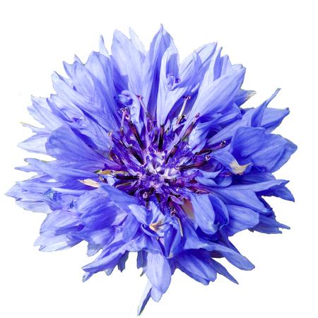 blue petals: Blue Cornflower Flower Head Isolated Stock Photo