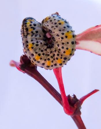 hedging: Sawfly Yellow and Black Caterpillar Stock Photo