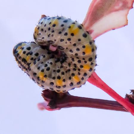 hedging: Pattern On Sawfly Caterpillar