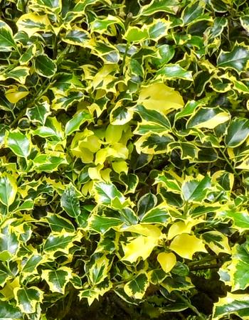 mottling: Ilex Aquifolium Holly Stock Photo
