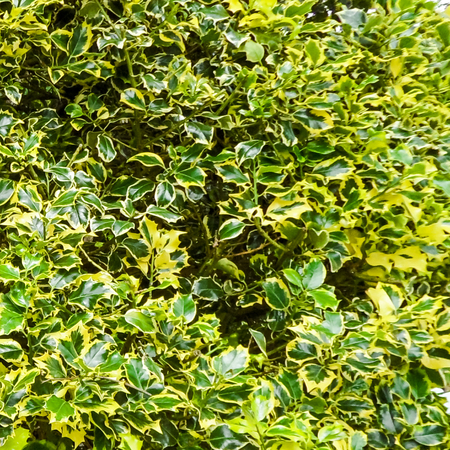 mottling: Variegated English Holly Tree Stock Photo