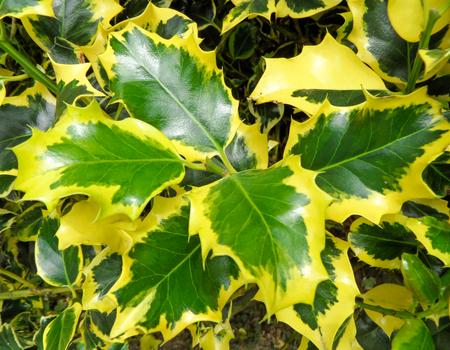 mottling: Golden Variegated Holly Leaves Stock Photo