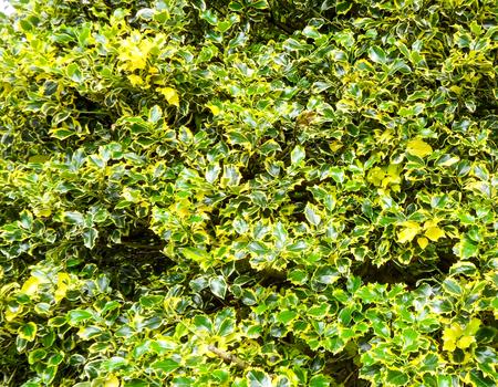 ilex aquifolium holly: Variegated Holly Bush Stock Photo