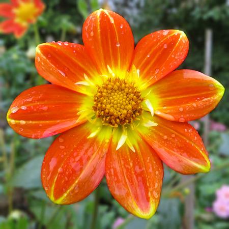 dahlia flower: Orange And Gold Dahlia Flower