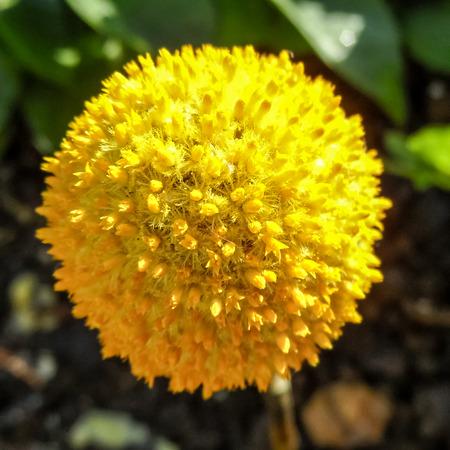 hemispherical: Craspedia flowering plant