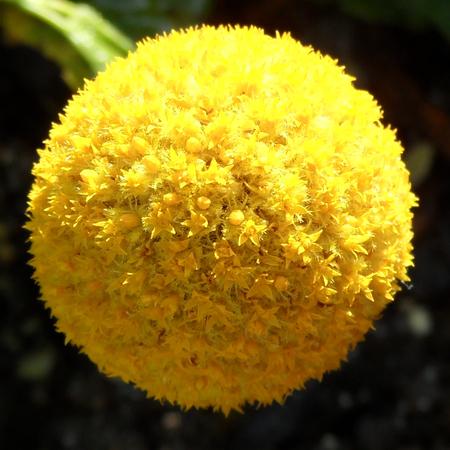 hemispherical: Golden Craspedia Flower Head Stock Photo