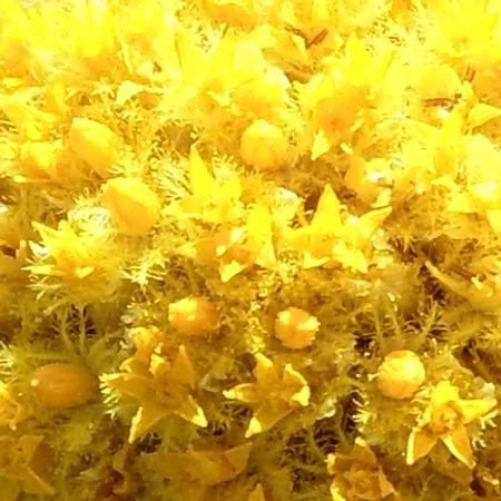hemispherical: Craspedia Flowers