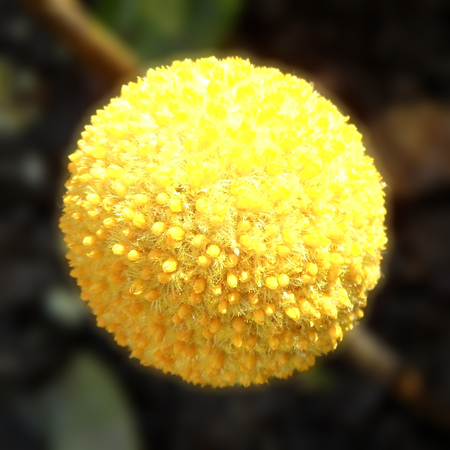 hemispherical: Globular Craspedia Flowers