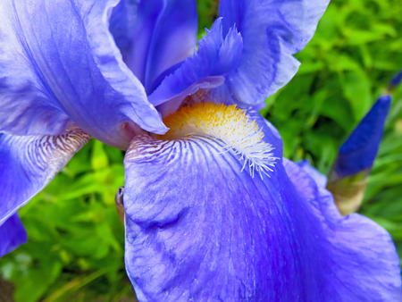 bearded iris: Blue Bearded Iris