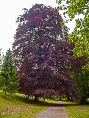 betula pendula: Copper Beech Tree Stock Photo