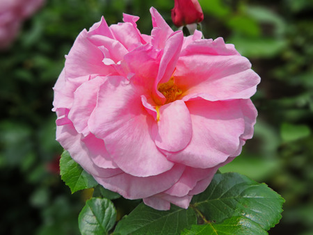 compassion: Pink Compassion Rose