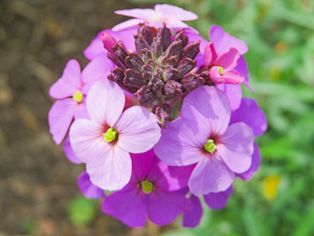 wallflower: Purple Wallflower