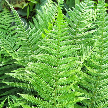 photosynthetic: Green Fern
