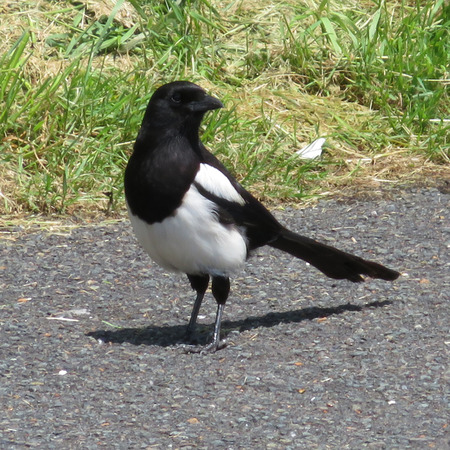 Black and White Magpie Stock Photo