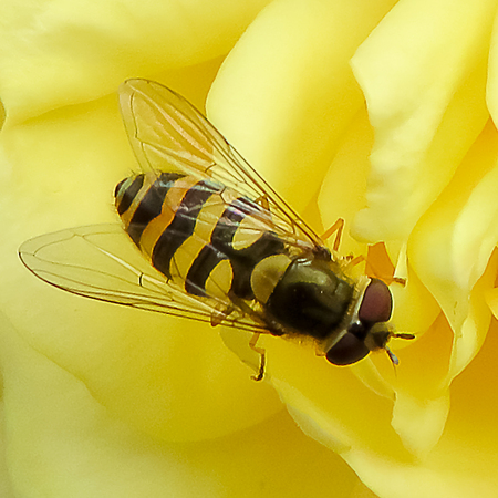 diptera: Syrphus Ribesii Hover-fly Stock Photo