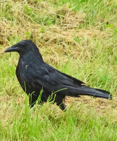 corvidae: Black Crow On Grass Stock Photo