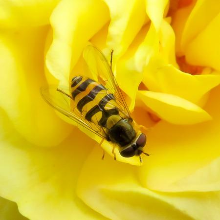 animal vein: Syrphus Ribesii Hover-fly Stock Photo