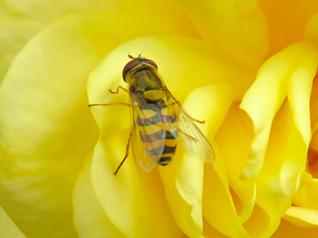 syrphidae: Syrphus Ribesii Hover-fly Stock Photo