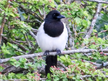 Magpie Sitting In A tree Stock Photo